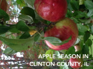 "Two red apples hanging on an apple tree with the title, "" Apple season in Clinton County."""