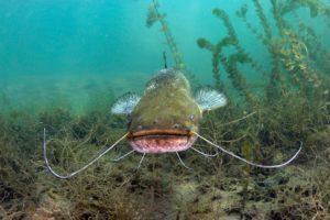 Catfish under water coming toward the camera