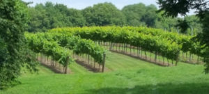 Plush green vineyard plants at Twelve Oaks Vineyard surrounded by trees on all sides.
