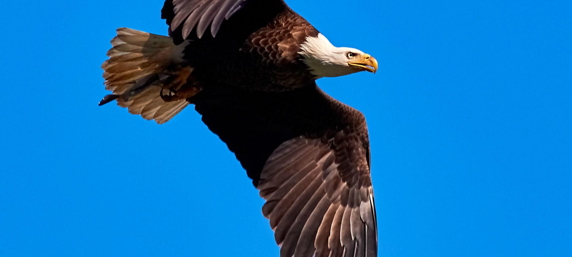 Bald eagle flying in brilliant blue sky.