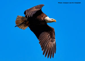 Bald eagle flying in brilliant blue sky.