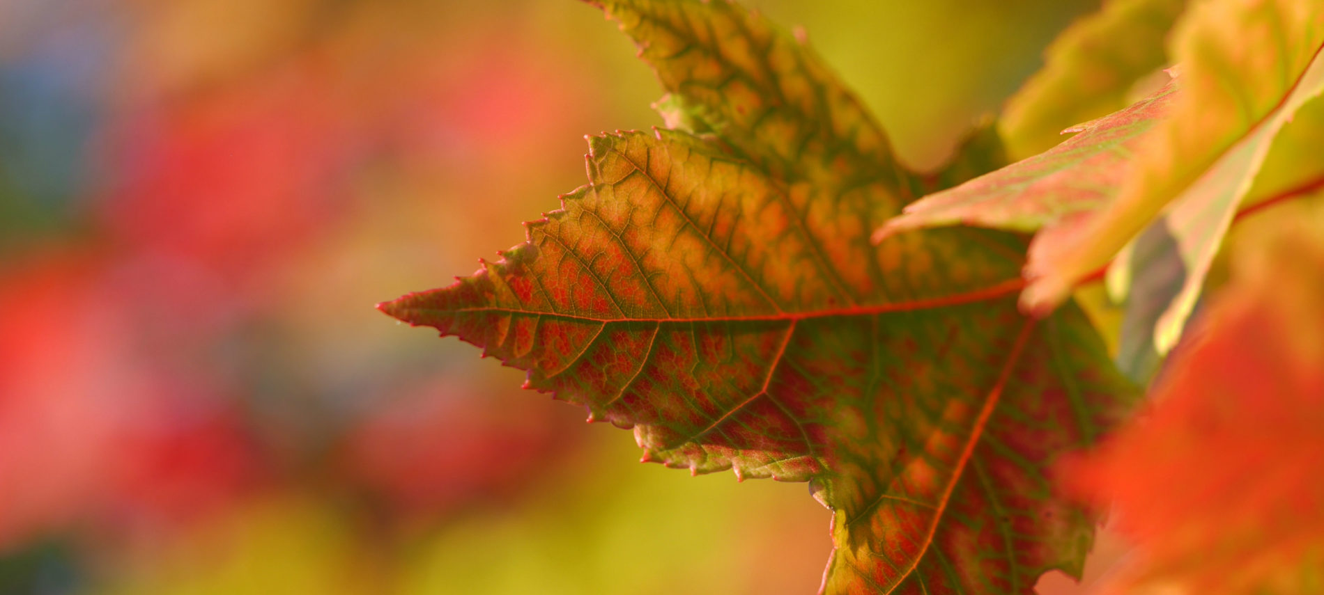 A photo of a few very colorful autumn leaves with title: Autumn is made for wine!""