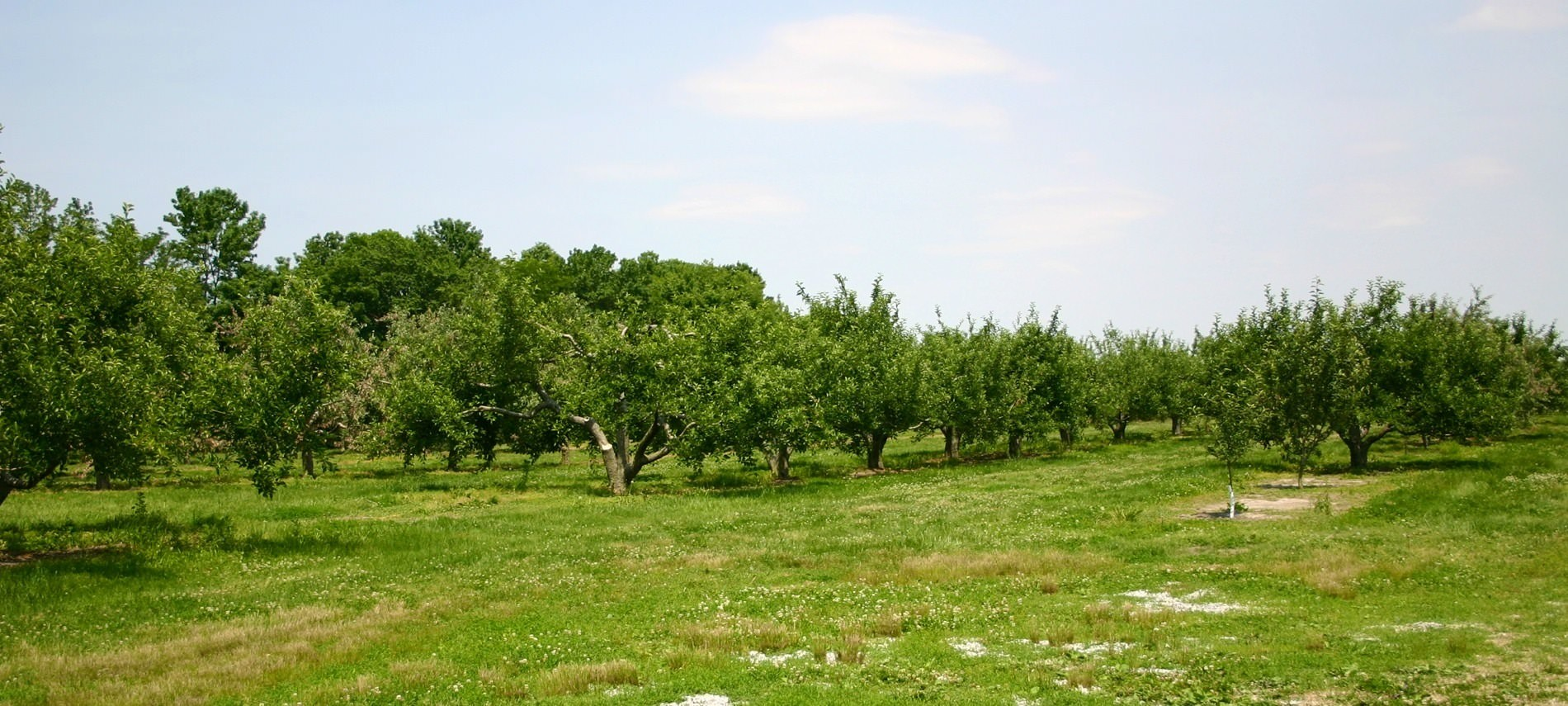 A large orchard with varying size of bushes and trees. Grass in front with clear blue sky and fluffy clouds.