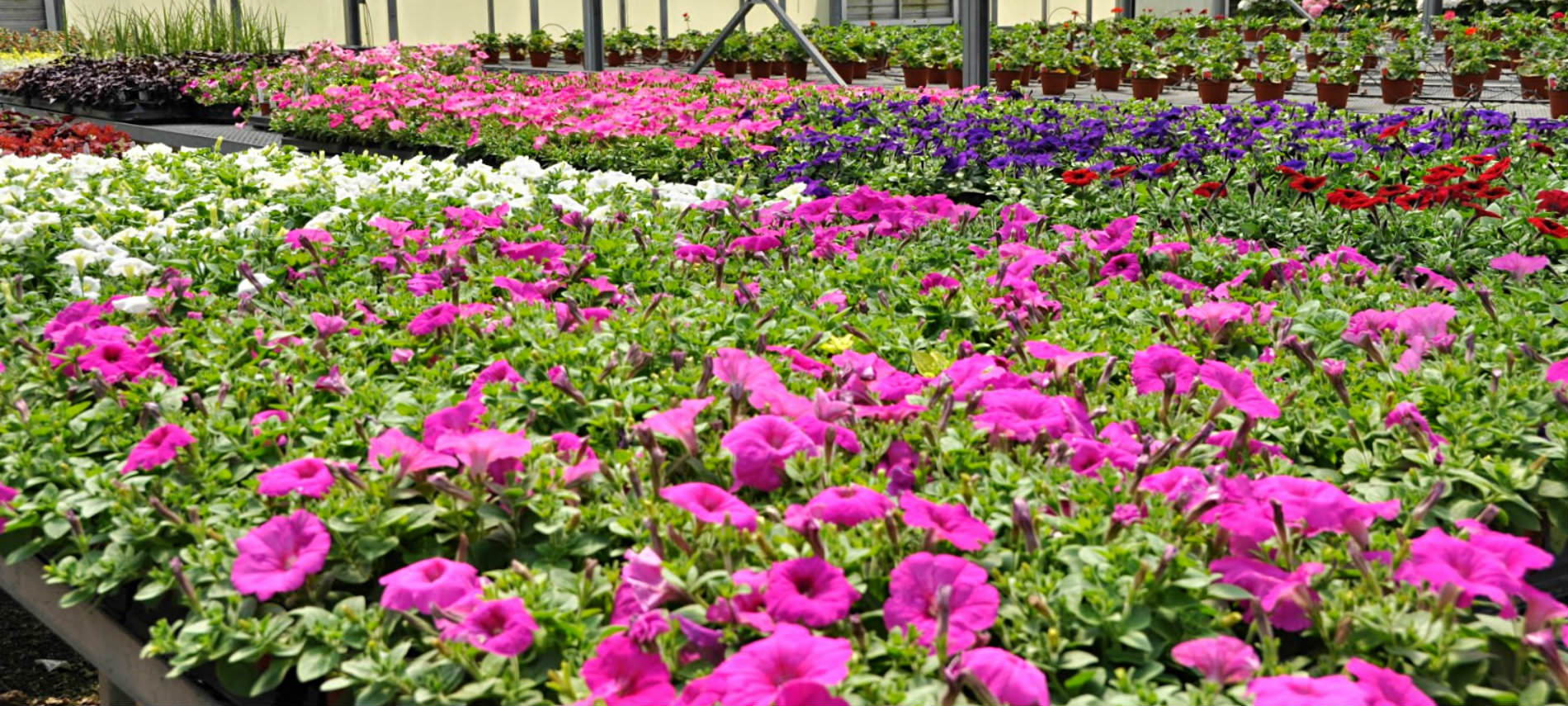 Gardens with variety of flowers with vivid pink, purple, white and red colors, clay pots.