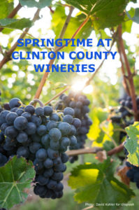 Wine grapes hanging on the vine with title: Springtime at Clinton County Wineries
